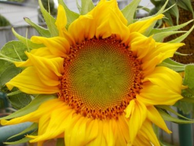 sunflower-sm.jpg - 27590 Bytes